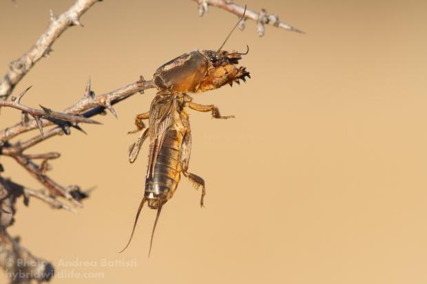 Mole cricket (Gryllotalpa gryllotalpa) as prey of Great Grey Shrike Canon 7D, 300f4 (1/640, f/8.0, 640iso)
