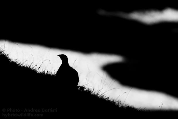 Silhouette di Pernice Bianca (Lagopus mutus), Alpi Piemontesi - Canon 400D, 300 f/4L (1/1000, f/6.3, 400iso).