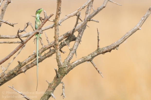 Western green lizard as prey of Great Grey Shrike - North Italy Canon 7D, sigma 150macro (1/400, f/8.0, 800iso)