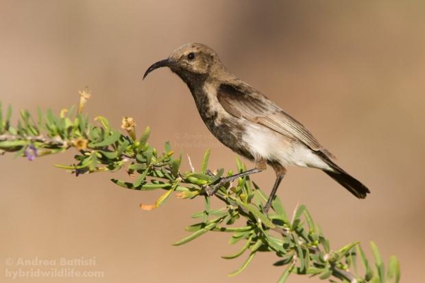Dusky sunbird (Cinnyris fuscus), Namaqualand - Canon 7D, Canon 300/f4L + 1.4x (1/2500, f/7.1, 640iso)