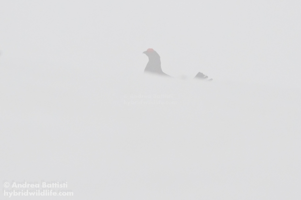 Black Grouse in the fog - Canon 7D, 300/f4 L (f/8.0, 1/800, 800iso)