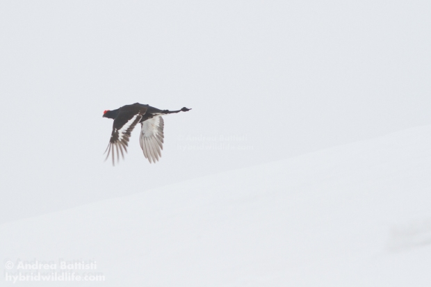 Black grouse in flight - Canon 7D, 300/f4 L (f/8.0, 1/800, 400iso)