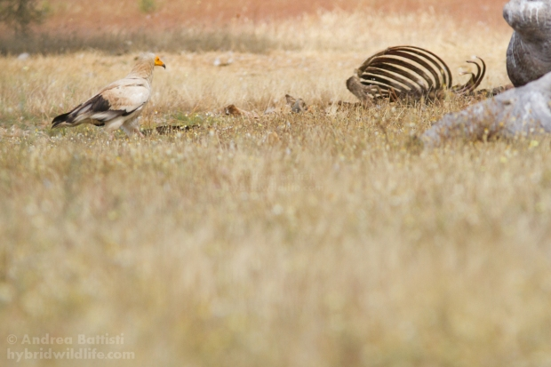 Aegyptian vulture - Canon 7D, 300/f4 L (f/6.3, 1/400, 1000iso
