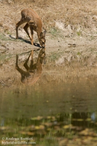 Puppy of Rod deer drinking at a pond - Campanarios de Azaba - Canon 7D, 300/f4 L (f/6.3, 1/2000, 1600iso