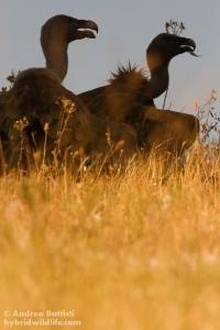 Griffons resting in the shadow - Campanarios de Azaba-  Canon 7D, 300/f4 L (f/9.0, 1/640, 800iso