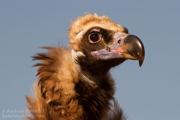 Black vulture - Canon 7D, 300/f4 L (f/7.1, 1/500, 400iso)