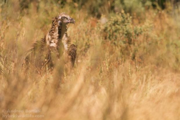 Avvoltoio monaco - Canon 7D, 300 f/4 L ()