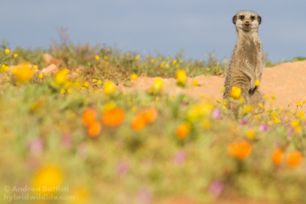 Suricata in a blooming desert - Canon 7D, 300/f4 L (f/9.0, 1/1600, 500iso)