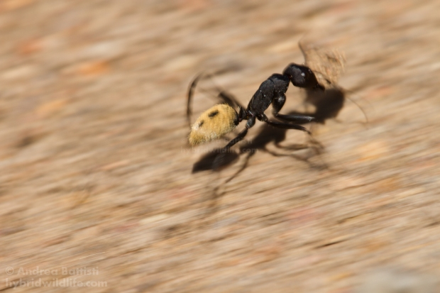 Desert ant at work - Canon 7D, sigma 150 macro/f2.8 (f/13, 1/50, 125iso)