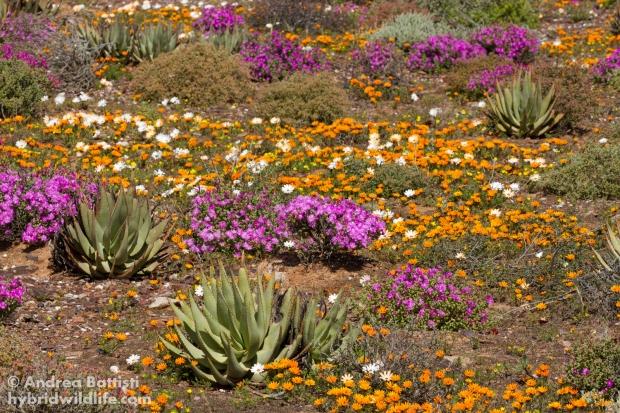 Blooming karoo desert - Canon 7D, sigma 150macro f/2.8 L (f/13, 1/640, 400iso)