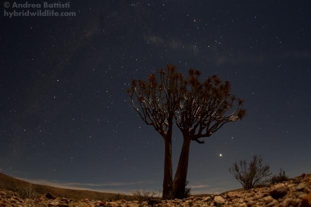 Un Aloe dicotoma in una notte di luna piena, Aggeneys - Canon 7D, sigma 15mm fisheye (f/2.8, 20'', 800iso)
