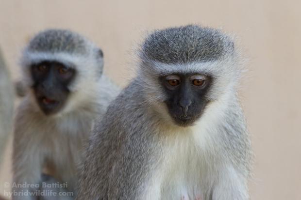 Scimmie sull'Orange river