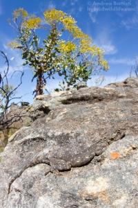 Agama atra, Vanrysdorp - Canon 7D, sigma 15mm f/2.8 fisheye (f/16, 1/160, 400iso)