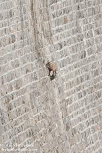 Pare incredibile come questa femmina di stambecco sia arrivata su quella pietra sporgente - Canon 7D, 300mm f/4 + 1.4x (f/11, 1/100, 400iso).