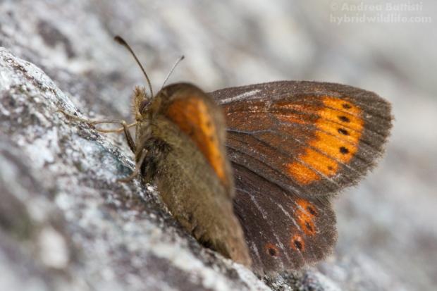 Erebia christi, female - Canon 7D, sigma15mmf/2.8 fisheye (f/, 1/, iso)