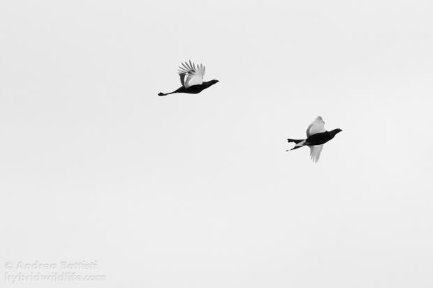 Volo di forcelli - Canon 7D, 300m f/4.0 (f/5.0 ,1/800, 3200iso)