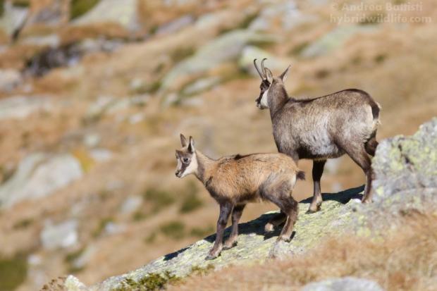 Mamma e piccolo, Alpi piemontesi - Canon 7D, 300m f/4.0 (f/ ,1/, iso)