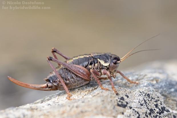 Anonconotus occidentalis ♀, una cavallette delle alte lande alpine - Nikon D610, 105 f/2.8 macro (1/250, f/18, 400iso) 2flash