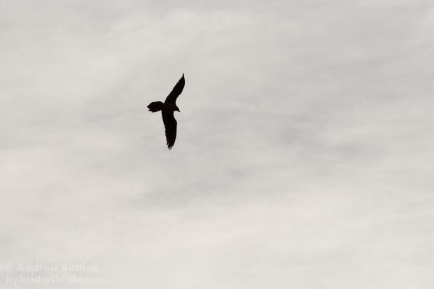 Il volo del Gipeto - Canon7D, 300mm f/4.0 (f/7.1, 1/8000, 500iso)