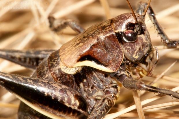 Pholidoptera aptera ♀ - Canon7D, sigma 150mm f/2.8 (f/9.0, 1/400, 400iso)