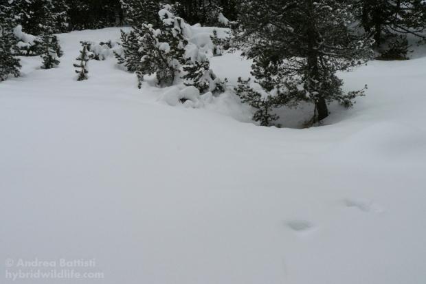 Fagiano di monte, igloo invernale - Panasonic DMC-FZ8 (f(5.6, 1/250, 100iso)