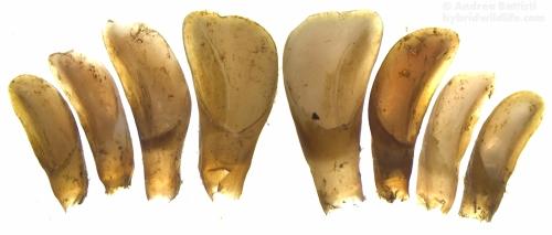 Una delle abitudini più comuni delle volpi consiste nel staccare pezzi di grossi animali morti per consumarli altrove o per portarle ai propri cuccioli, qui i denti incisivi completi di una mandibola di capriolo - Stereoscope Leica EZ4D, LAS EZ 3.0