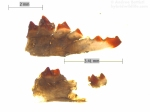 Resti alimentari, toporagno (Sorex antinorii), denti - Stereoscope Leica EZ4D, LAS EZ 3.0